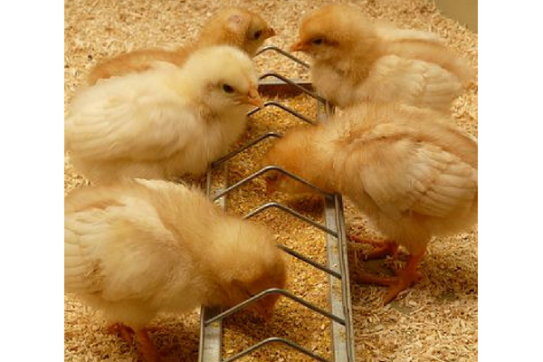 Baby chicks eating from a feeder