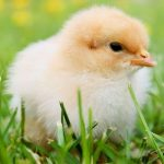 Yellow fuzzy baby chick in the grass