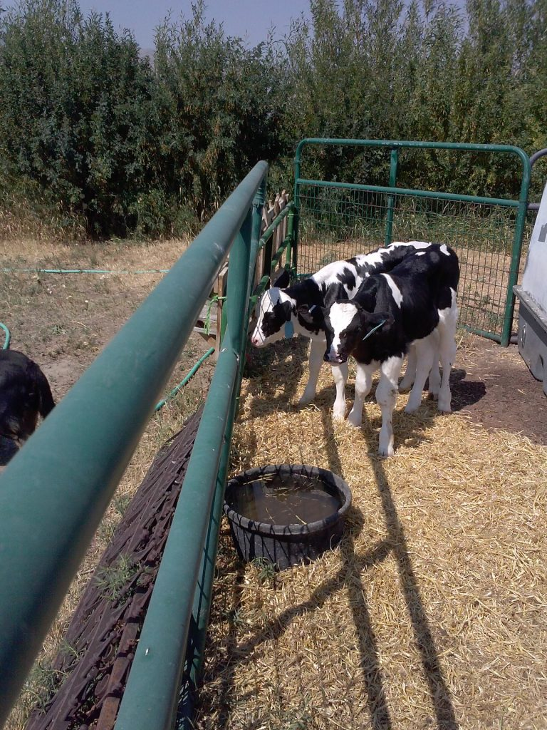 Week old Holstein Calves. This will help solve the to much goat milk problem.