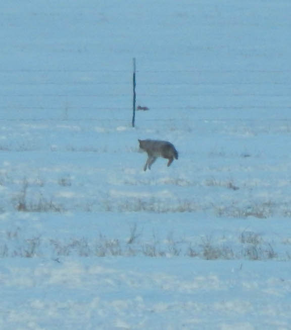 Coyote pouncing on a vole.