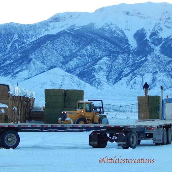 Semi trucks hauling hay