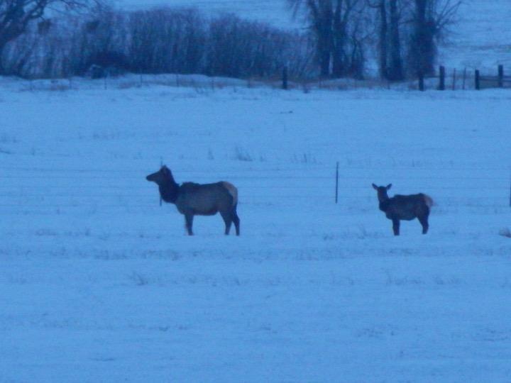 Lead Cow Elk
