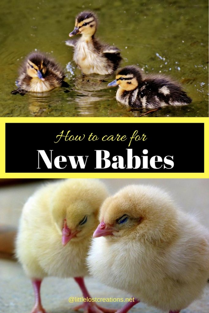 Three baby goslings and 2 baby chicks. Caption is how to care for new baby chicks